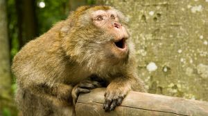 why-cant-monkeys-talk-like-us