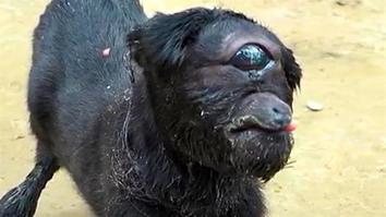 Cyclops Goat Born in India