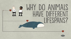 Why do animals have such different lifespans